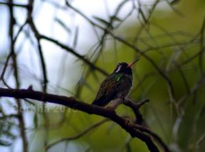 colibri Hylocharis leucotis - casa F-Burkha augosto-2015 03
