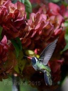 colibri Hylocharis leucotis - casa F-Burkha augosto-2015 04