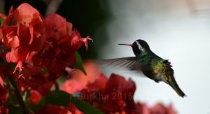 colibri Hylocharis leucotis - casa F-Burkha augosto-2015 05