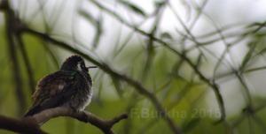 colibri Hylocharis leucotis - casa F-Burkha augosto-2015 09