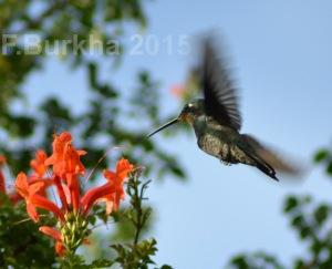colibri Lampornis amethystinus - casa F-Burkha augosto-2015 01
