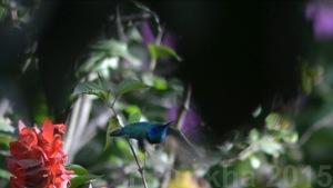 colibri thalassinus - casa F-Burkha augosto-2015 04