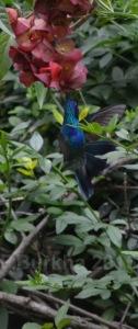 colibri thalassinus - casa F-Burkha augosto-2015 05