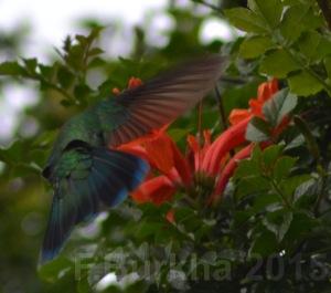 colibri thalassinus - casa F-Burkha augosto-2015 06