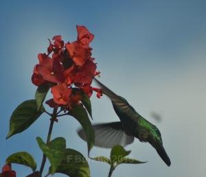 colibri thalassinus - casa F-Burkha augosto-2015 07