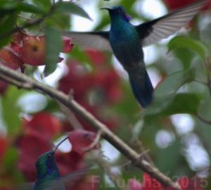 colibri thalassinus pelea de machos - casa F-Burkha augosto-2015 03