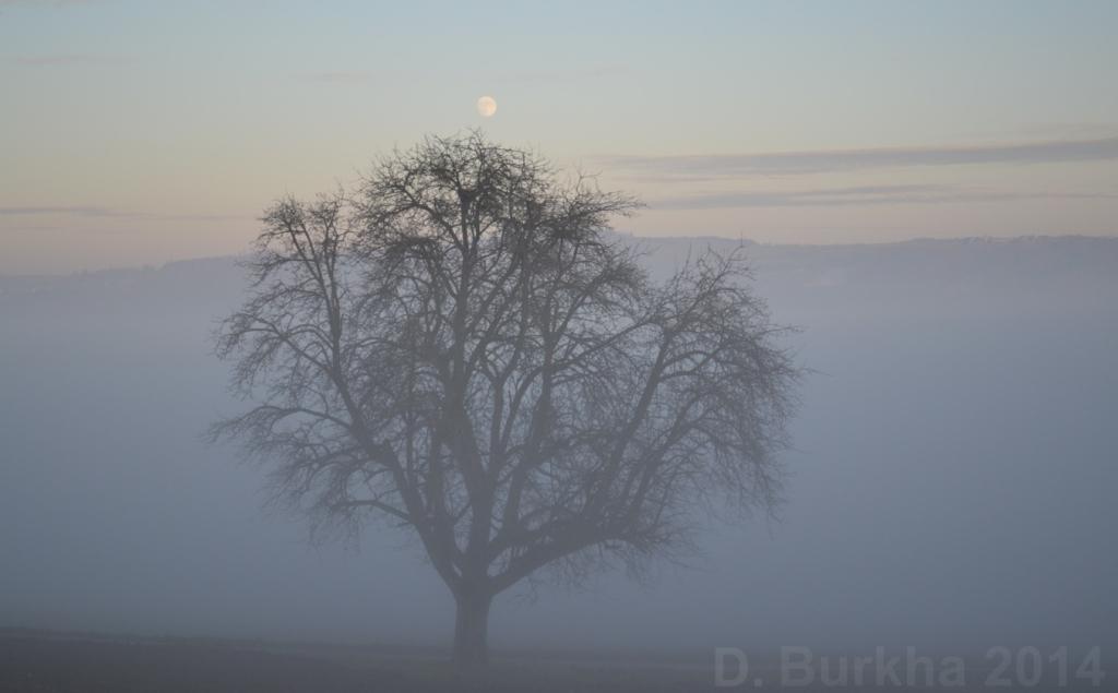 D Burkha arbre nid lune 2014